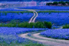 Muleshoe Bend  Bluebonnets 0007