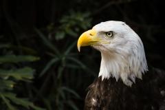 Bald Eagle 0006